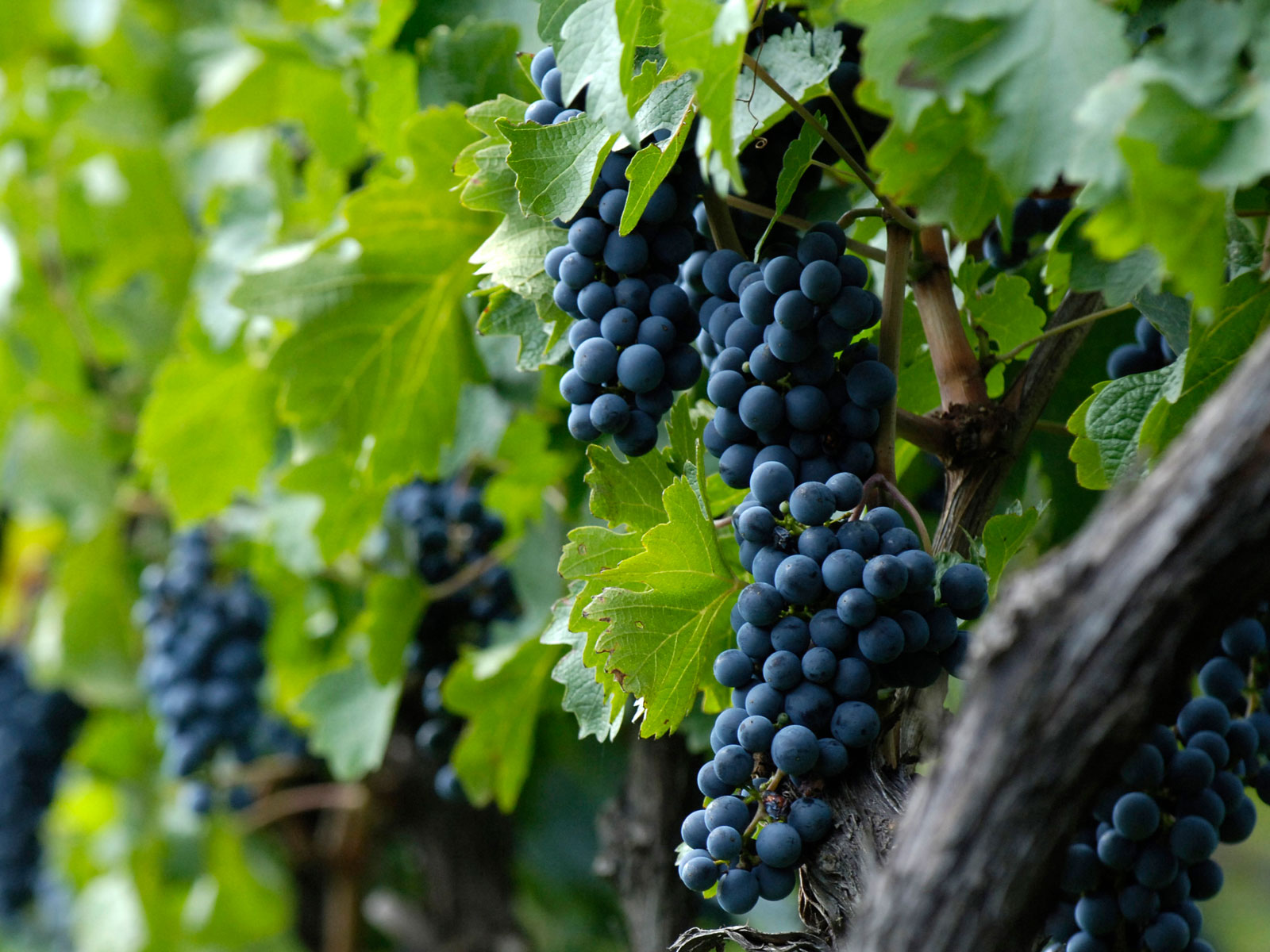 wine-grape-marijuana-FT-BLOG0919.jpg