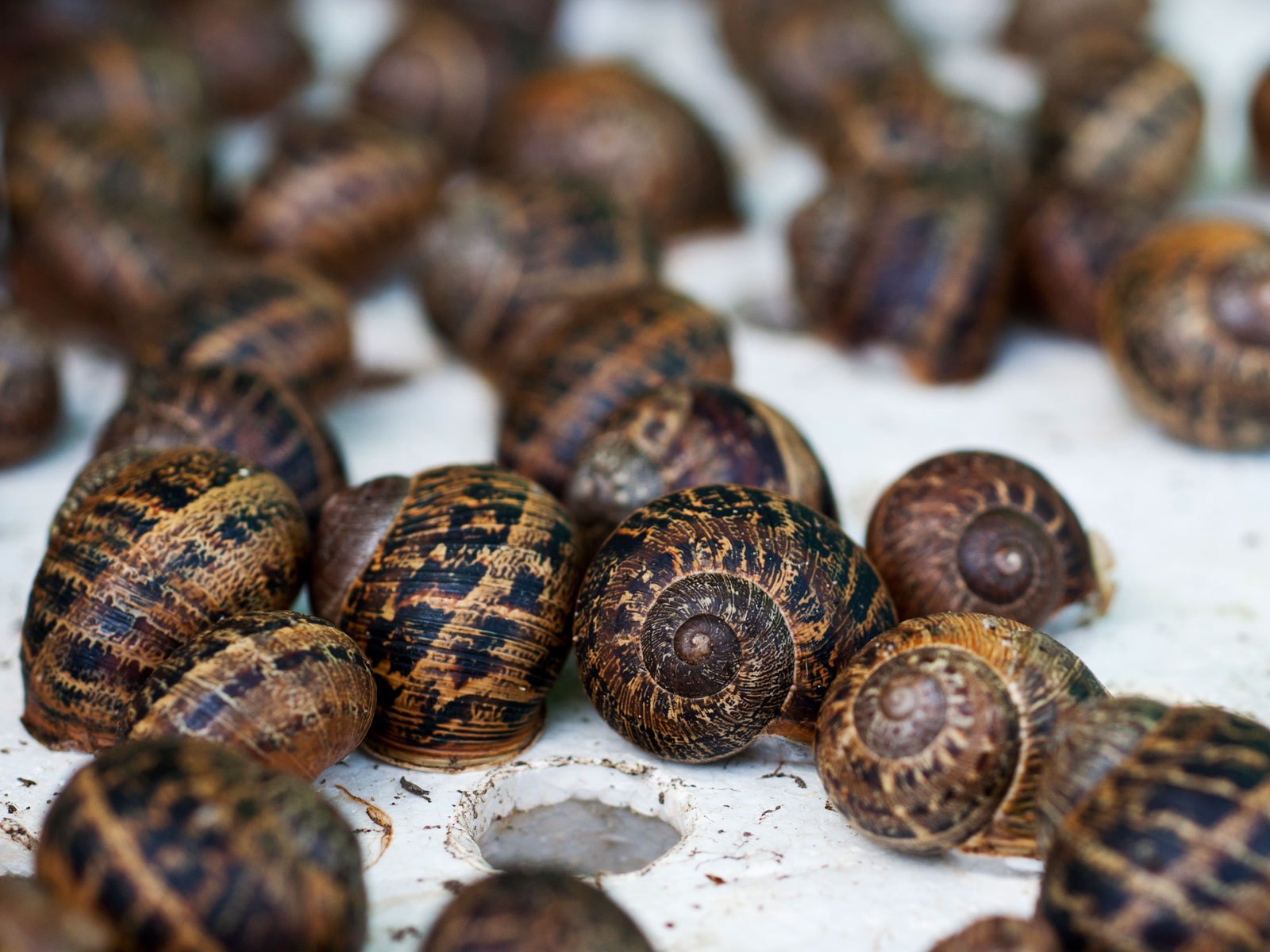 American Chefs Can't Import Live Snails, But Two Farms Found a Way Around That